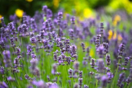 Lavender - Winchester